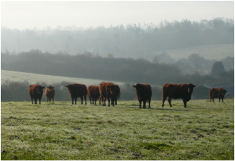 Chapman Herd in a misty morning