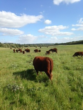 The Chapman herd enjoying summer pasture